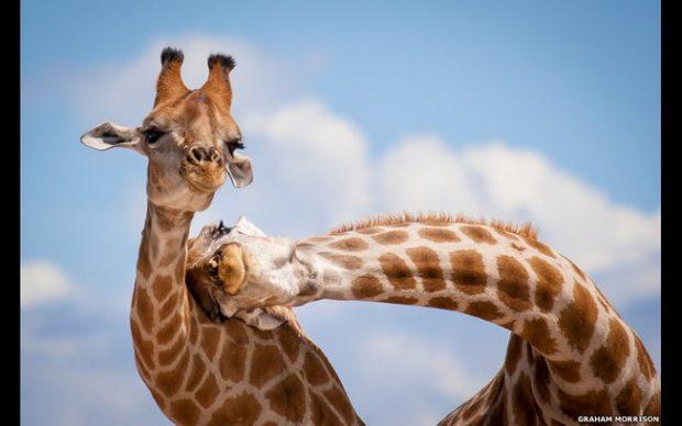 Casal de Girafas felizes alegram o dia de qualquer um