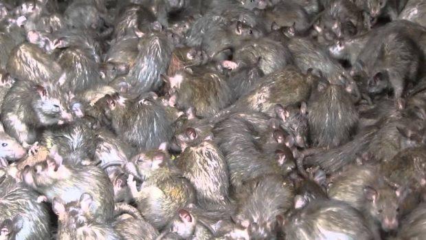 Como o aquecimento global pode multiplicar a população de ratos em toda parte