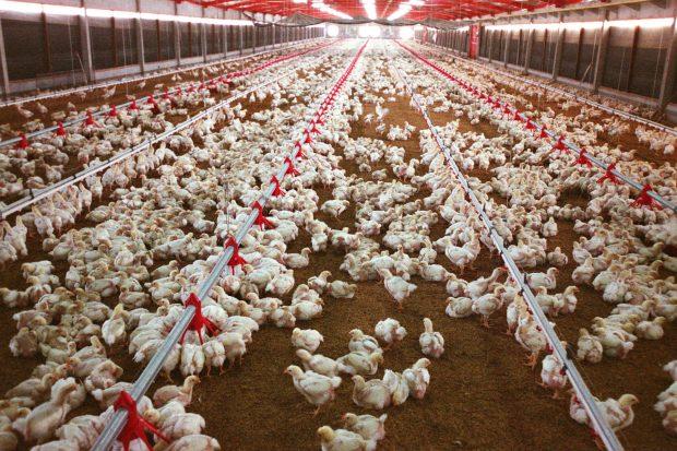 5 empresas brasileiras estão proibidas de exportar frango aos sauditas